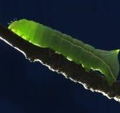 gałęziasta gąsienica Obrazy Stock
