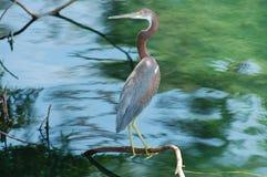 gałęziasta heron Obraz Royalty Free