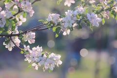 Gałęziasta jabłoń Zdjęcie Royalty Free