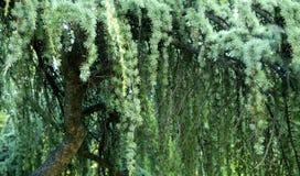 gałęziasta jodła Fotografia Royalty Free