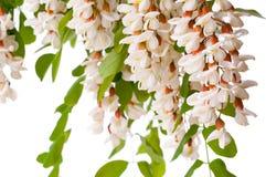 Gałęziasta Kwitnie biała akacja odizolowywająca obrazy stock