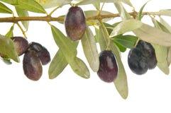 gałęziasta oliwka obraz stock