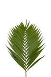gałęziasta palma Fotografia Stock