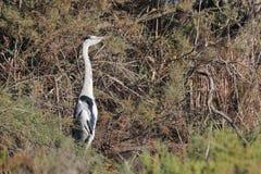gałęziasta popielata czapla umieszczający tamarisk Zdjęcie Royalty Free