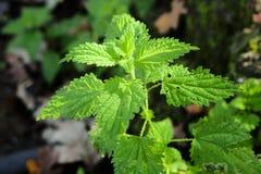 Gałęziasta rośliny natury pokrzywa Zdjęcie Stock
