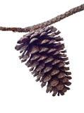 gałęziasta szyszkowa sosna Zdjęcie Royalty Free