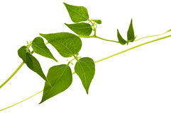 gałęziasta zieleń Zdjęcia Stock