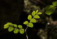 gałęziasta zieleń Zdjęcie Royalty Free