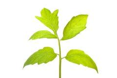 gałęziasta zieleń Obraz Royalty Free