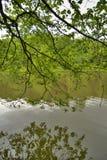 gałęziasta zielona sosna zdjęcia royalty free