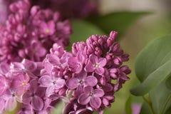 gałęziaste lile purpury tła naturalny kwiecisty Obraz Royalty Free