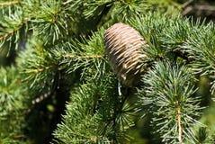 gałęziaste rożka zieleni igły Zdjęcia Stock