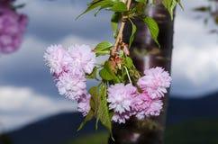 Gałęziaste wiosna sezonu Sakura płatków drzewne kwitnące menchie zasadzają dekoracyjnego Obraz Stock