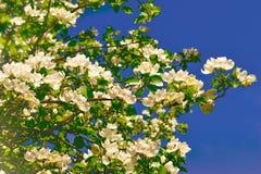 Gałęziastego okwitnięcia jabłczany tło nad niebieskie niebo Piękną wiosną kwitnie Zdjęcia Stock