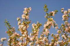 Gałęziastego okwitnięcia jabłczany tło nad niebieskim niebem piękna wiosna kwiat Zdjęcie Royalty Free