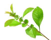 gałęziastego zielonego liść pojedynczy potomstwa Zdjęcia Stock