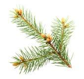gałęziastej futerka zieleni pojedynczy drzewo Obraz Royalty Free