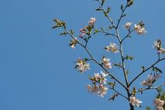 gałęziastej zakwitnąć wiśni Obrazy Stock