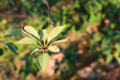 gałęziasty czereśniowy drzewo Zdjęcia Stock