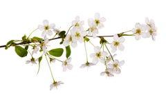 gałęziasty czereśniowy kwiecisty prosty biel Obraz Stock