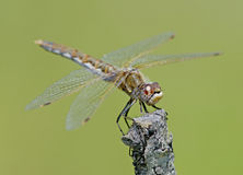 gałęziasty dragonfly Zdjęcia Stock