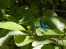 gałęziasty dragonfly libellula ramo su fotografia stock