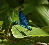 gałęziasty dragonfly libellula ramo su obrazy royalty free