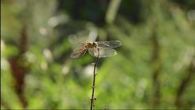 gałęziasty dragonfly libellula ramo su zbiory wideo