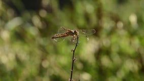 gałęziasty dragonfly libellula ramo su zbiory
