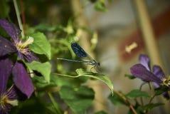 gałęziasty dragonfly libellula ramo su Zdjęcie Royalty Free
