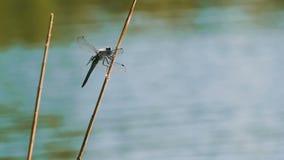 gałęziasty dragonfly libellula ramo su zdjęcie wideo