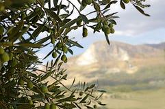 gałęziasty drzewo oliwne Obrazy Stock