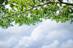 Gałęziasty drzewo zieleni liścia i chmury niebieskiego nieba tło Obrazy Stock