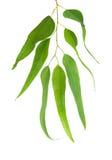 gałęziasty eukaliptus Zdjęcie Royalty Free