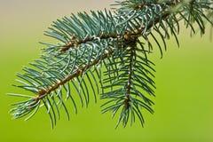 gałęziasty futerkowy drzewo obrazy stock