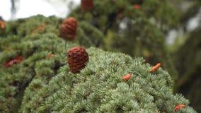 Gałęziasty iglasty drzewo z sosnowymi rożkami zdjęcie wideo