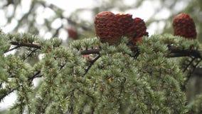 Gałęziasty iglasty drzewo z sosnowymi rożkami Na tenterhooks widzieć deszcz zdjęcie wideo
