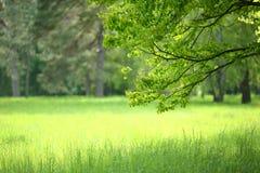 gałęziasty jaskrawy kwiecenia zieleni natury wiosna drzewo zdjęcie stock