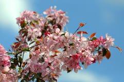 gałęziasty kwiatonośny Sakura (wiosna) Zdjęcie Stock