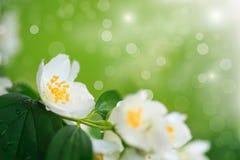 Gałęziasty kwitnący jaśmin Obrazy Royalty Free