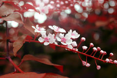 Gałęziasty kwitnienie z czerwień liśćmi w wiośnie Obraz Stock