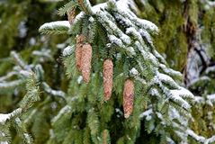 gałęziasty modrzewiowy drzewo Zdjęcia Royalty Free