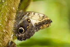 gałęziasty motyl obrazy royalty free