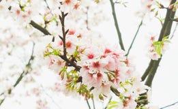 Gałęziasty okwitnięcie menchii Sakura drzewo w ogródzie Zdjęcia Royalty Free