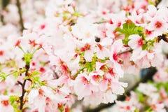 Gałęziasty okwitnięcie menchii Sakura drzewo w ogródzie Obraz Royalty Free