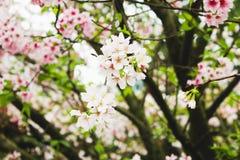 Gałęziasty okwitnięcie menchii Sakura drzewo w Tianyuan świątyni Fotografia Stock