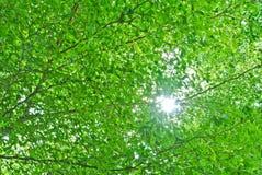 gałęziasty połysku słońca drzewo Fotografia Stock