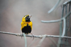gałęziasty ptaka finch zdjęcie stock