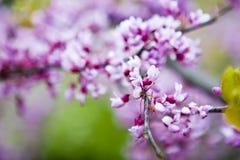 gałęziasty Sakura Zdjęcia Stock