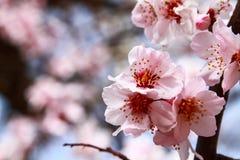 Gałęziasty Sakura Zdjęcia Royalty Free